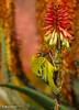 Cape Weaver (Ploceus capensis) (Martin_Heigan) Tags: camera flower macro bird nature digital southafrica succulent aloe nikon dof martin bokeh photograph cape d200 weaver dslr karoo capensis ferox ploceus suidafrika krantz sigma170500mmapo nikonstunninggallery heigan aalwyn bitteraalwyn wsnbg mhsetbirds mhsetaloes mhsetbokeh mhsetflowers kransaalwyn 19july2008