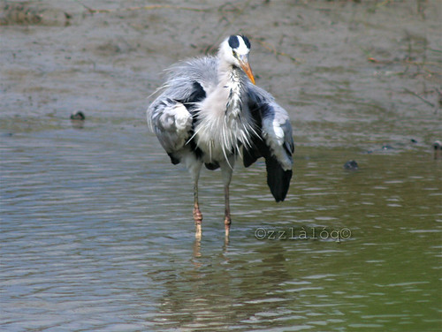 Grey Heron Swallowing Fish 6