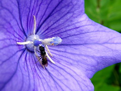 Balloon flower (hamapenguin) Tags: flower macro nature bug insect purple hakone balloonflower    thebiggestgroup impressedbeauty boranicalgarden
