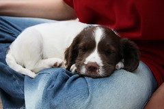 Springer Spaniel Puppy age 7 weeks IMG_8119 (tonylanciabeta) Tags: old dog cute dogs puppy photography photo harrison 7 tony spaniel springer weeks tonyharrison wwwtonyharrisoncouk