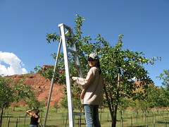 080810 Capitol Reef Orchard 4 (rebeccachen1970) Tags: utah capitolreef fruitpicking