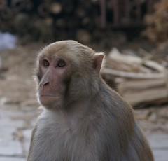 What you looking at? (Alan Daye) Tags: nepal monkey explore kathmandu pashupatinath annapurnapanorama