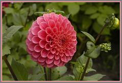 double dahlia flower