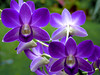 With my best wishes! (dolorix) Tags: orchid flower nature natur dendrobium orchidee blume dendrobiumphalaenopsis bej