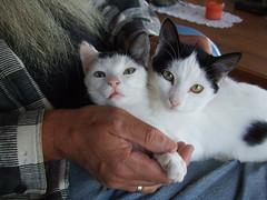 Fluse und Schwester (klaus_liebich) Tags: katzen ouranoupolis fluse