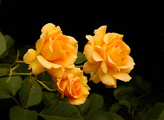 Honey Perfume spray (ncevans) Tags: soe mywinners goldenheartaward