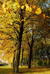 converted into gold (vanderlaan.fotografeert) Tags: herfst autumn bladeren leafs bomen trees geel yellow goud gold kerkstraat hoogezand vanafdekielsterachterweg zonlicht sunlight vanderlaanfotografeert