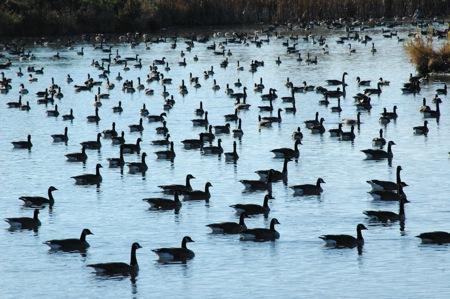 Canada Geese in Kanata