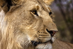 The leader. (Maurizio Contini) Tags: africa portrait up animals lady speed close kenya african lion fast cheetah strategy maurizio himba contini inhabitants flickrbigcats