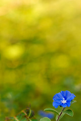 Solo (.I Travel East.) Tags: blue flower yellow azul one nikon bokeh solo single bloom lone nikkor vr daze bulaklak asul onexplore nikkor105mm bluedaze charlottesgarden interestingness372 d80 nikkor105mmf28vr alonebutnotlonely nikond80 backyardshot hawaiianblueeyes bokehs exploredoctober222008