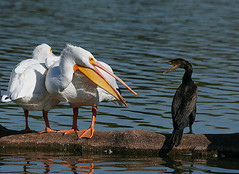 White Pelicans 16 (TexasEagle) Tags: nature birds dallas texas wildlife pelican whiterocklake phalacrocoraxauritus pelecanuserythrorhynchos whitepelicans pfogold beautifulworldchallenges