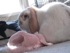 IMG_4149 (joandirk) Tags: rabbit cadbury lop minilop