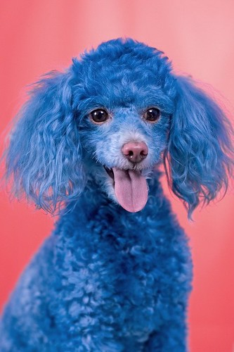 animals zoo park funny dog blue poodle cotton the blue