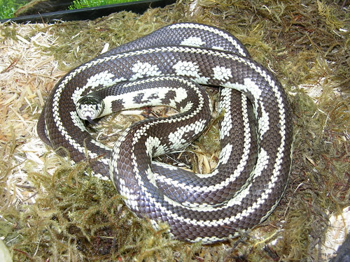California kingsnake (Lampropeltis getulus californiae)