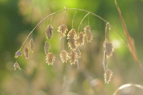 Chasmanthium latifolium by nobuflickr