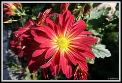 Flores de Otoño. (malachica) Tags: flowers naturaleza flores flower nature canon garden rojo flor jardin margarita botánica botanica ltytr1 malachica