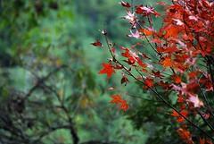 DSC_8575 (calium) Tags: foliage 楓葉 武陵農場 wulingfarm