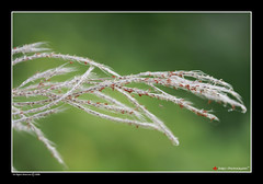 Falling For You (| JERRY |) Tags: india flower grass kerala southindia keralam malabar calicut 100mmmacro fallingforyou kadalundi canon40d kozhikkode jerryclicks jerryphotography flickrcalicut kozhikkodeflickr wwwjerrysworldin