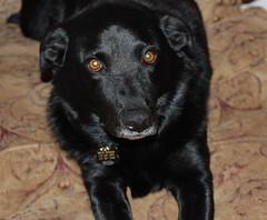 Sweet Molly (BauschkeBearCompany) Tags: dogs labs soe blackdogs