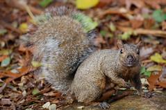 Squirrel (OlaNowak) Tags: nature fauna burlington nikon squirrel sigma lasalle wiewirka hfg wiewiorka sigmalens d40 lasallepark abigfave nikond40 naturewatcher