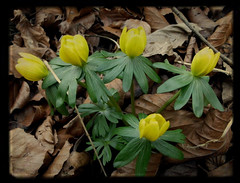 don't know what they are - but they're pretty (annette62) Tags: flowers winter yellow spring woods northumberland aconite