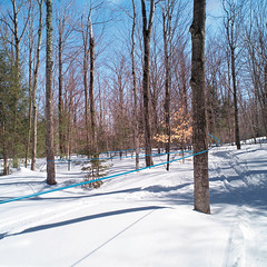 Modern Maple Syrup Tubing