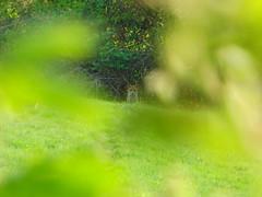 Distant Fox (Alex Staniforth: Wildlife/Nature Photography) Tags: alex cheshire wildlife group casio staniforth casioex exfh20 fh20