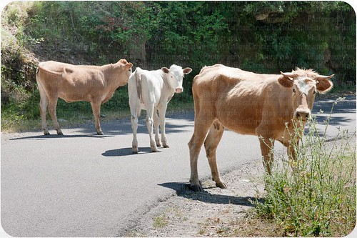 Cows in the way