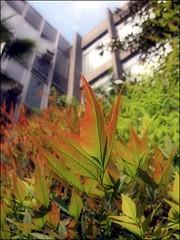 (Tölgyesi Kata) Tags: garden arboretum nandinadomestica heavenlybamboo sacredbamboo budaiarborétum withcanonpowershota620 japánszentfa égibambusz mennyeibambusz