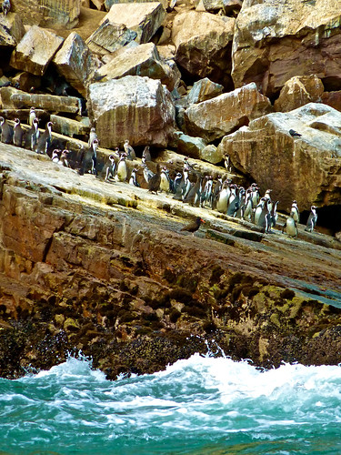 Penguins in Palominos Islands