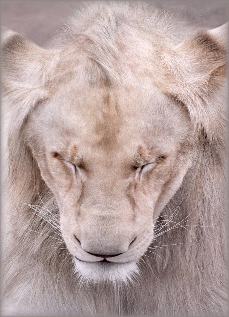 Король джунглей: 25 красивейших фотографий со львами на Flickr