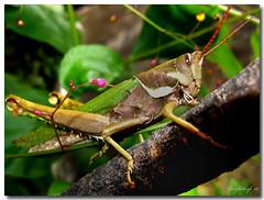 saltamonte 1745 (joseflickrsfe) Tags: wild santafe macro verde green argentina closeup canon garden farm nin etech nineinchnails lobster campo silvestre dfa day63 jardn cebit junkdrawer lamarathon langosta pcgames grasshoper salvaje hotgame a710 saltamonte newgame tucura platinumphoto macromondays macromonday mar08 grdii veterinarifotografi drupalconboston2008 etech08 kddtecendoredes05 ofmmar08