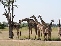 Getting to know her (peggyhr) Tags: africa nature wildlife explore giraffes zambia callofthewild blueribbonwinner luangwavalley mywinners platinumphoto naturephotographs nationalgeographicareyougoodenough wowiekazowie globalvillage2 peggyhr theperfectphotographer photosexploregroup explorewinnersoftheworld