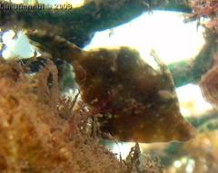 IMG_3923 baby filefish