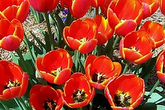 Red Tulips (BC'sMom) Tags: flowers red flower texas tulips loveit tulip smrgsbord