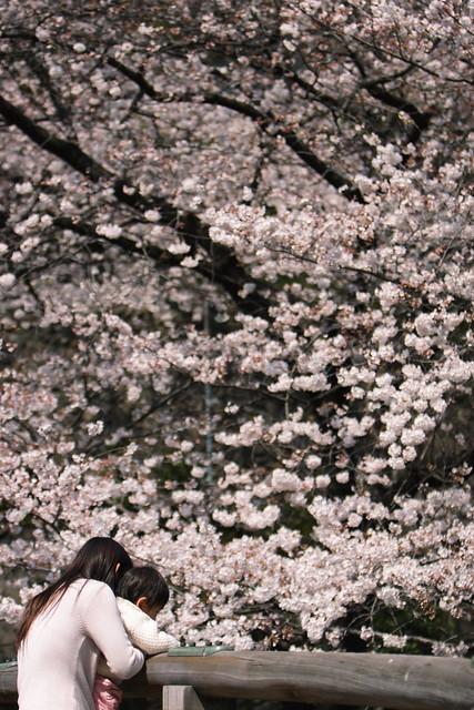 川沿い桜並木