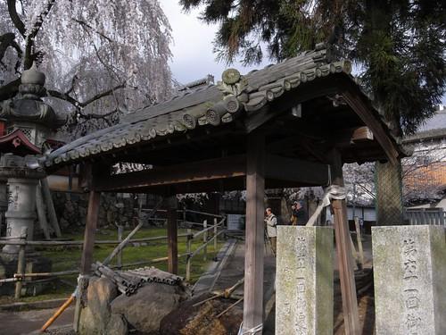 氷室神社(しだれ桜)-10