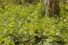 Lamiastrum galeobdolon - Gevlekte gele dovenetel, groeiwijze