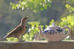 I'm a Little Teapot (Peggy Collins) Tags: bird interestingness profile explore teapot avian flicker nurseryrhyme northernflicker themoulinrouge naturesfinest redshaftedflicker firstquality anawesomeshot peggycollins