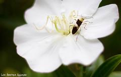 Hóspede (Luiz Henrique Assunção) Tags: flower canon bug eos 50mm flor inseto 2008 manacádaserra 40d abigfave licassuncao