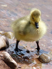 Cutie! (johnmuk) Tags: uk england geese spring may cannock chase gosling 2008 staffordshire naturesfinest