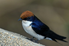 Wire-tailed swallow (hirundo smithii) (Arno Meintjes Wildlife) Tags: africa wallpaper bird nature animal southafrica bush wildlife safari rsa krugernationalpark birdwatcher wiretailedswallow hirundosmithii specanimal impressedbeauty arnomeintjes louisemeintjes