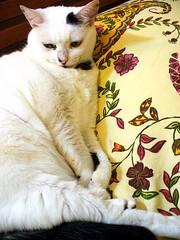 Miú (Bia P) Tags: pet cats pets color cute colors animal animals cat cores chats chat kitty gatos gato purr cor couleur kissablekat