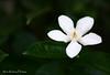 Witty White (first_step... shooting again) Tags: white flower field whiteflower dof bokeh philippines depthoffield depth pinoy pilipinas pinas pnas aplusphoto teampilipinas larawangpinoy alvinrulonaphoto alvinrulonaphotos