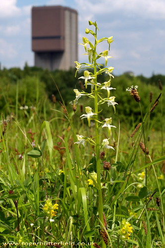 Greater Butterfly Orchid at Maltby Common © Roger Butterfield