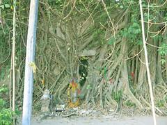 Wat Bangkung Unseen Thailand @ Samutsongkram วัดบางกุ้ง โบสถในต้นไม้ สมุทรสงคราม