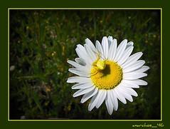 Mimetismo (romano.mannini) Tags: fiori insetti fiorispontanei