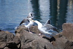 Hey punk...this is MY rock! (rowdycowchick) Tags: california seagulls docks boats harbor portsocall losangelesharbor