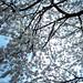 陽光桜(2009.03.19)