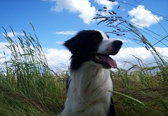 Free... (meg price) Tags: blue summer sky dog pets collie wind border bordercollie barney platinumheartaward
